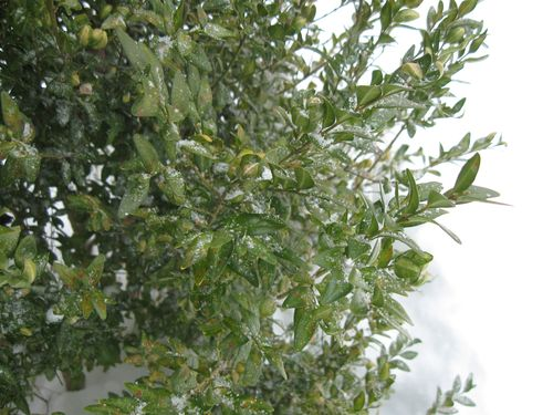 Boxwood in the snow