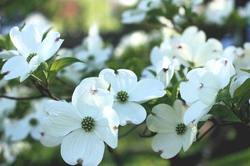 White dogwood2