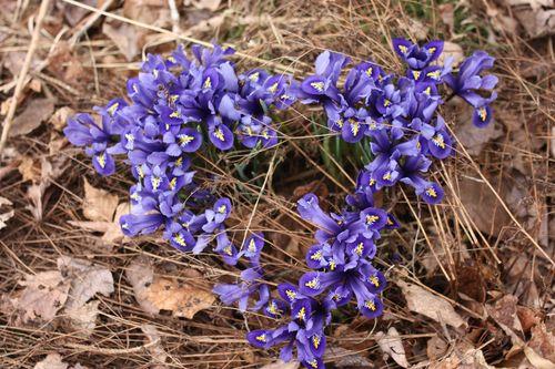 Mini iris heart