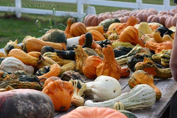 Pumpkins-Gourds